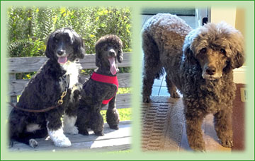 SOUTH (Atlantic) Poodle Breeders (DE, FL, GA, MD, NC, SC, VA