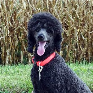 Midwest West Poodle Breeders Ia Ks Mn Mo Ne Nd